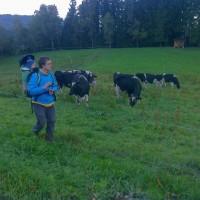 Hausmann se snaží dojit krávy.