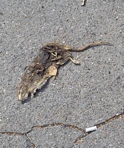Hlodavec bez trvalého pobytu v příslušné městské části - ostatní hlodavci si to s ním vyřídili a pro výstrahu ho nechali dva dny ležet na ulici