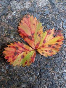 List lesní jahody