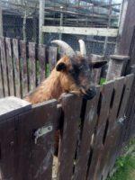 V minizoo vás přivítá koza