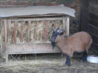 Koza a její seno!